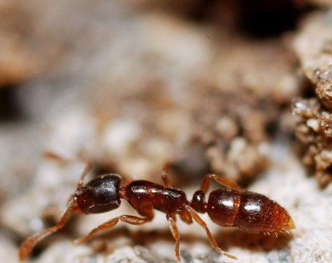 Akrobat Karınca