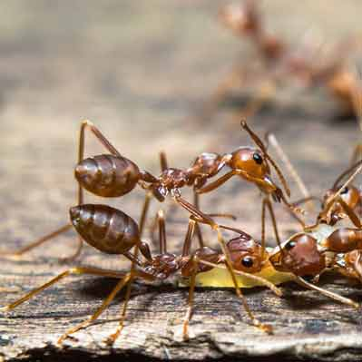 Firavun Karınca