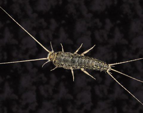 Gümüş Böceği